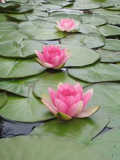 "No mud, no lotus---""Lotus - A flower that rises from the mud. The deeper the mud, the more beautiful the lotus blooms."" Lotus Flower Lotus f. My Flower, Beautiful Flowers, Simply Beautiful, Flower Art, Foto Poster, Pink Lotus, Lily Pond, Deco Floral, Floral Design"