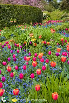 Orange, red and purple tulips make a stunning display at Dorothy Clive Garden, Staffordshire