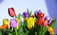 Tulipani, Felice, Sfondo, Estate
