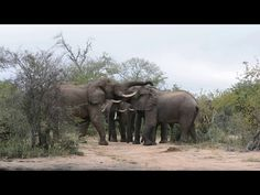Video: the curious elephant behaviour of play-fighting - Africa Geographic