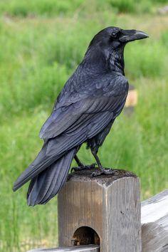 Beautiful Birds, Animals Beautiful, Cute Animals, Crow Art, Bird Art, Crow Or Raven, Raven Bird, Crows Ravens, Wild Birds