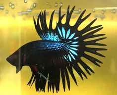 1115  Legend  Black Orchid  crowntail  betta  fish     Imported