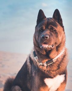 Akita- interesting facts about this dog breed - Nynno Japanese Akita, Japanese Dogs, American Akita Dog, Giant Dogs, Love Dogs, Shiba Inu, Dogs And Puppies, Corgi Puppies, Pet Puppy