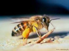 Resultado de imagem para apis abelha