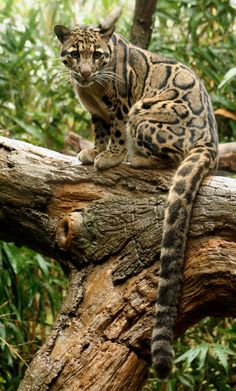 * Clouded Leopard - absolutely beautiful .  I was lucky enough to see this beautiful animal in kenya st 5 am in morning very shy animal  .
