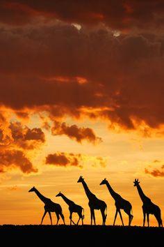 5 giraffes by Muriel Vekemans Sunset in the Masai Mara, Kenya Safari Animals, Animals And Pets, Cute Animals, Wildlife Photography, Animal Photography, Beautiful Creatures, Animals Beautiful, African Sunset, Okapi