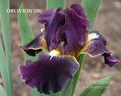 "(Marky Smith 2003) IB iris, 25"" (64 cm), E. HM 2005, AM 2009 Flowers: S. medium dark violet, grey luminata veining and wire edge, base yellow; F. blacker than plum purple, bright yellow area on either"