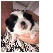 Litter of 4 Japanese Chin puppies for sale in SALEM, OR. ADN-63575 on PuppyFinder.com Gender: Male. Age: 2 Weeks Old