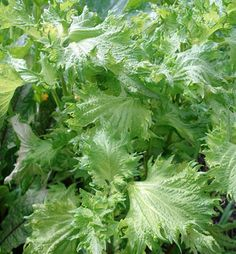 How to grow shiso. If you are a Japanese food fanatic like me you need to grow this. You can put it on everything!