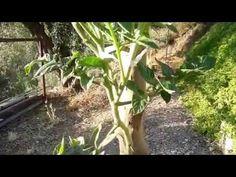 Solanum, prove d'innesto   Settembre 2015 - YouTube