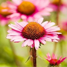 Purple coneflower is one of the toughest, most reliable perennials on the market.
