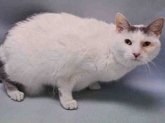 """VANILLA - A0689069 - - Manhattan  Please Share:   ***TO BE DESTROYED 06/14//16***AMAZING SECOND CHANCE FOR VANILLA TONIGHT!  SENIOR GAL BETRAYED! NEEDS FURR-EVER HOME ASAP! VANILLA is a 10 year old SPAYED calico, who was adopted out from the ACC 7 years ago. Yes, you've read that correctly. She was saved 7 years ago by someone who was supposed to love her and keep her for the rest of her days. But suddenly someone in Vanilla's household became """"allergic&#8"""