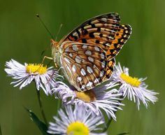 Common Pacific Northwest butterflies with food and nectar plant listings.