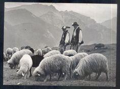 Owce, Tatry Wysokie, Wypas
