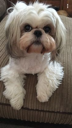 Are you looking for Shih Tzu dog names? Here is a collection of funny and cute Shih Tzu male/female dog name ideas. Perro Shih Tzu, Shih Tzu Hund, Maltese Shih Tzu, Shih Tzu Puppy, Shih Tzus, Cute Puppies, Dogs And Puppies, Le Terrier, Bull Terriers