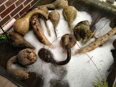 My gourds in January - curing on the deck.. Once dry, they can be saved forever and used for many fun applications..
