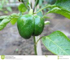 Californian paprika in a garden