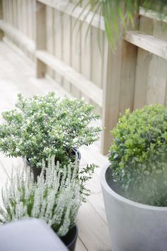 White Erica and winter green plants for the Autumn Terrace