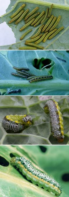 Alternative Gardning: How to control cabbage worms