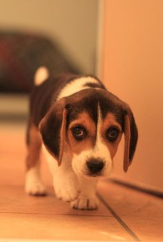 Pictures of cute Beagles that will leave you helplessly in love with this breed. It's impossible to look at these pictures and not smile. :)