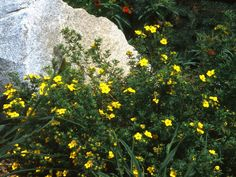 Goldfinger Cinquefoil Popular Landscaping Groundcovers and Shrubs | DIY Landscaping | Landscape Design & Ideas, Plants, Lawn Care | DIY