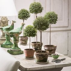"""""""I've been pruning my myrtle topiaries. They are growing so fast with the longer days. This photo was taken by @helennorman over a year ago, but I keep…"""""""