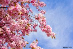 Beautiful Japanese cherry tree blossom against blue sky