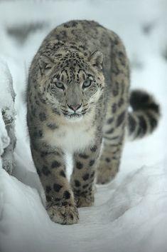 Snow leopard, photo Alex Rodak.