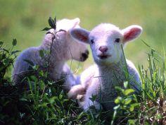 Sono 200 gli agnelli di dubbia provenienza che sono stati portati a Massa Carrara http://tuttacronaca.wordpress.com/2013/10/11/200-agnelli-sacrificali-per-un-rito-islamico-si-tenta-di-salvarli/
