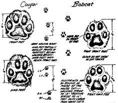 identify animal tracks illustration cougar bobcat paws