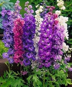 Assorted Delphinium - Delphinium - Flowers and Fillers - Flowers by category | Sierra Flower Finder