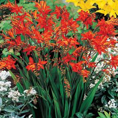 """Fire King Crocosmia         Brilliant Colour Stands Out from the Rest Gracefully arching stems bloom with a multitude of tubular, 1/2"""", orange florets that mature to flaming red. Splendid and long lasting in cut-flower arrangements. Grows to a height of 2' with attractive sword-shaped foliage.Crocosmia crocosmiiflora  Product Information: Light: Sun to Part Shade Bloom Time: Early to Midsummer Size: 6+ cm Bulbs Zones: 4 to 9 Height: 2'"""