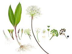 Robbie's fave plant: ramps, stinky onion, Chicagou, Allium tricoccum