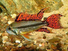 apistogramma_cacatuoides #TropicalFishKeeping