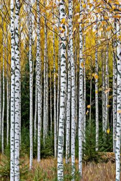 birch forest about life Birch Forest, Photo Art, Dream Catcher, Outdoor Structures, Autumn Photography, In This Moment, Folklore, Finland, Drawings