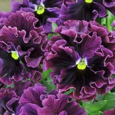~Pansy 'Frizzle Sizzle Burgundy'