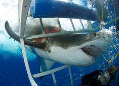 The shark looks wounded, appears to be bleeding. Ohhhh hell no ! That would be my luck the dam shark goes thru that opening Beautiful Creatures, Animals Beautiful, Shark Diving, Cage Diving With Sharks, Shark Shark, Big Shark, Shark Cage, Apex Predator, Great White Shark
