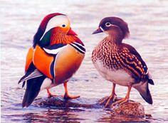 Aix galericulata/Mandarin duck/オシドリ/DD(2012RDB)