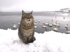 """A 'Herd' of Swans upon the lake ~ making quite a wake ~ and one lonely cat upon the snow: Hello?! Is he a little whacko?!?""  (Written By: © Lynn Chateau.)"