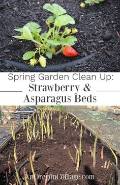 How to clean up asparagus beds and strawberry beds in the spring to keep them growing all season long. You are in the right place about spring cleaning wallpaper Here we offer you the most beautiful p Strawberry Beds, Strawberry Garden, Strawberry Plants, Fruit Garden, Edible Garden, Vegetable Garden, Asparagus Garden, Grow Asparagus, Container Gardening