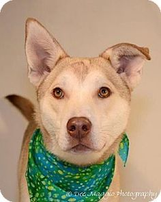 Livonia, MI - Husky/American Pit Bull Terrier Mix. Meet Harry a Dog for Adoption.