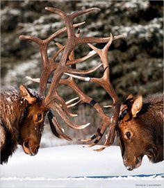 2011 National Wildife Photo Contest Winner - bull elks battling