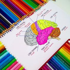 The brain. Med student study notes. // follow us @motivation2study for daily inspiration
