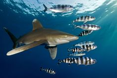 Oceanic Whitetip #Shark (Carcharhinus longimanus)