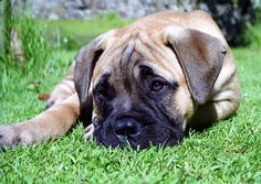 Would someone like to give me a Bullmastiff puppy? Anyone?