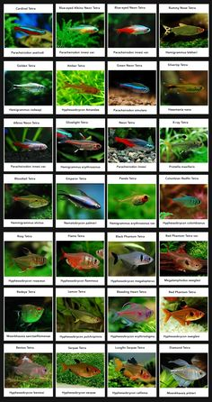 Type of tetras