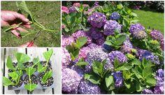 FabArtDIY Propagate Hydrangeas from Cutting