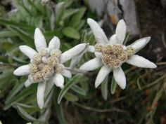 The Meaning of the Edelweiss Flower thumbnail
