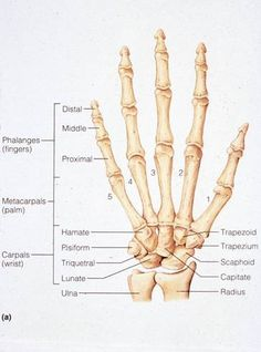 Medical and Health Science: Bones of the Human Hand Hand Bone Anatomy, Anatomy Bones, Forensic Anthropology, Human Anatomy And Physiology, Medical Coding, Hand Therapy, Anatomy Study, Nursing Tips, Nursing Students