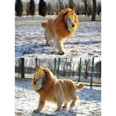lion with a ball and party hat patrolling the yard. yes!   from 14 awesome dog costume ideas for Halloween...or otherwise :)  #dog #ad #halloween